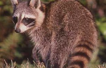 Raccoon - Chicken Predators - How To Protect Your Chickens