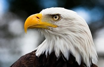 Eagle - Chicken Predators - How To Protect Your Chickens From ...