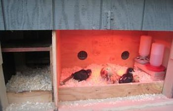 Feathereds Brooder In Coop