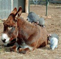 donkey guineas (3 of 1).jpg