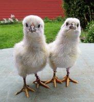 lav orp chicks.jpg