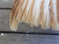 frayed wing edges.JPG