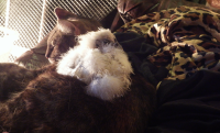Cat and Silkie.png
