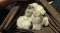Pouch of Chicks.png