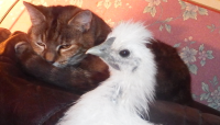 Sleepy Cat and Chick.png