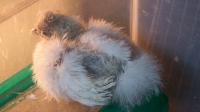Bunny Tailed Ridgeback.png