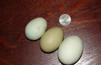 4439_2_small_green_eggs_and_a_normal_green_egg_9-20_003.jpg