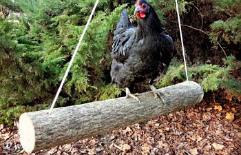 Keeping Chickens Without Free Ranging