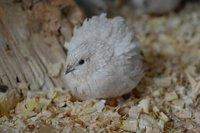 Ivory hen.jpg