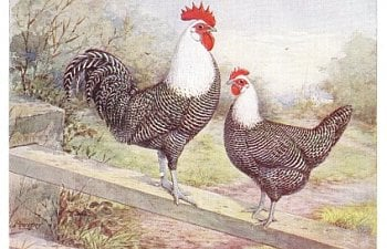 Improved Campines by Willis Van Dewalker, American Poultry Advocate, March 1914