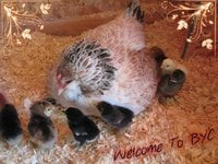 Welcome to BYC Broody with chicks.jpeg