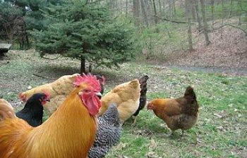 3_chickens_April_2010007.jpg