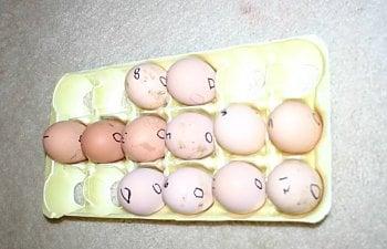 EggsMarked.jpg