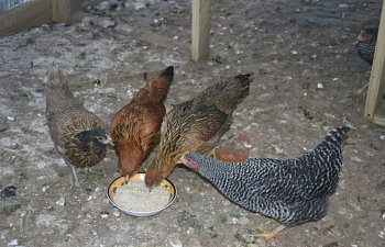 2009christmaschickensbirds432.jpg