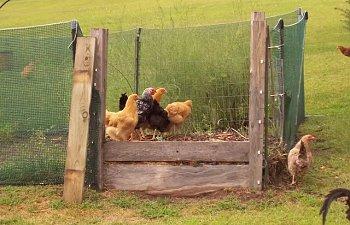 Chickens-2008Sep02_0.jpg