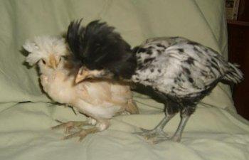 chicksforsale002.jpg