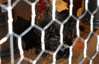 48739_black_banty_rooster.jpg