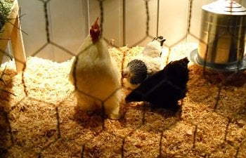 48739_white_banty_rooster_and_his_girls.jpg