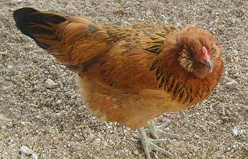 gardenchickens005.jpg
