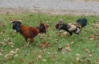 Roosters005.jpg
