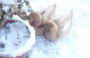 ducks_snow.jpg