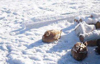 ducks_snow2.jpg
