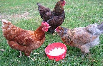 chickens058-1.jpg