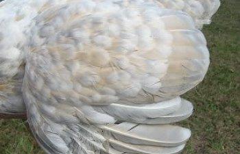 henwing.jpg