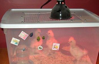 ChickenBrooder.jpg