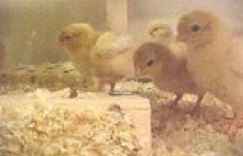th_Chicksday5w.jpg
