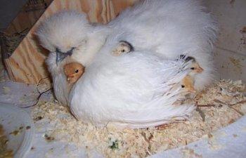 26453_buffy_chicks.jpg