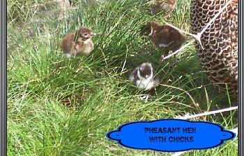 pheasantchicks007.jpg