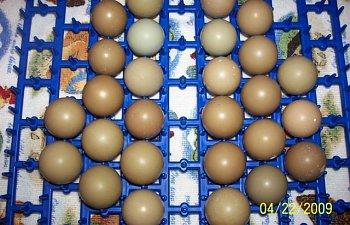 478_eggs_pheasant_bobwhite_010.jpg