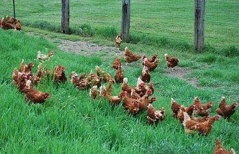 Hens020.jpg
