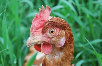 Hens026.jpg