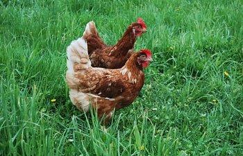 Hens036.jpg