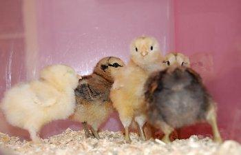 chicks114.jpg