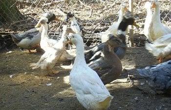 17106_ducks_1.jpg