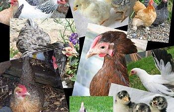 chickencollage.jpg