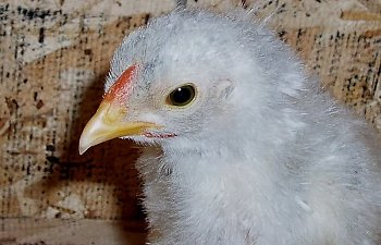Blue_Wyandotte_Cockerel_4wks_a.jpg
