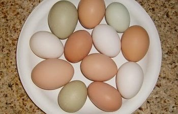 chickenseggs011.jpg
