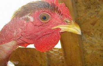 Chickens-December162007008.jpg