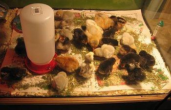 Chicks034.jpg