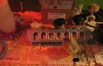 Chicks038.jpg