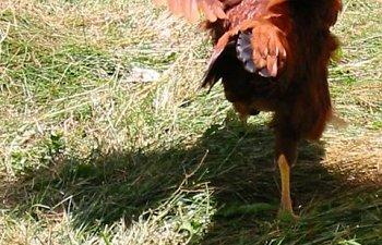 chickenpics025.jpg