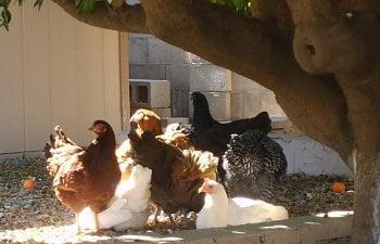 gardenchickens009.jpg