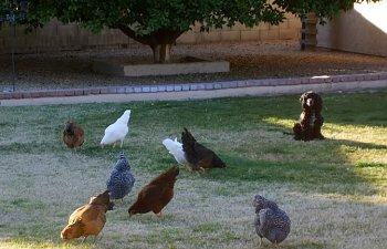gardenchickens006.jpg