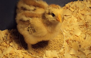 ChickPicks058.jpg