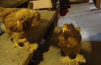 ChickPicks376.jpg