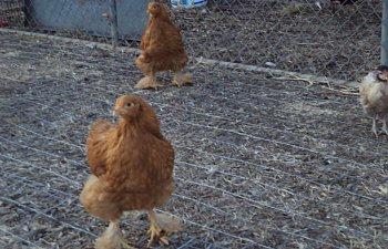 ChickPicks587.jpg